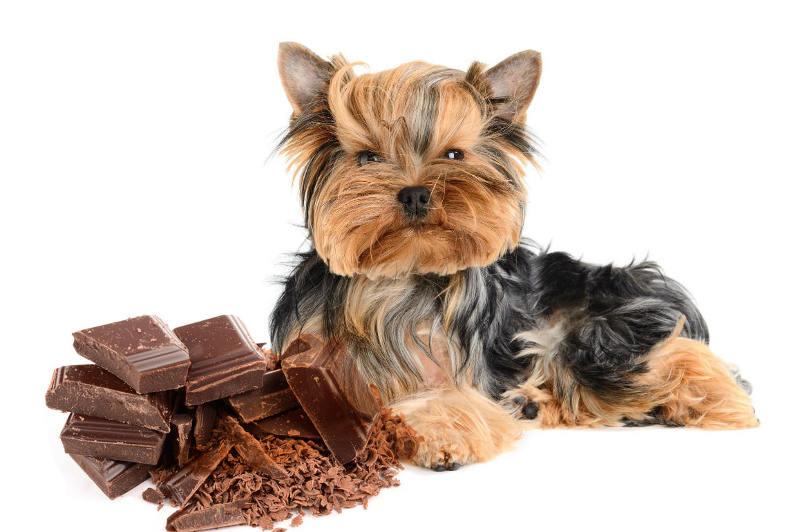 Co dělat, když pes najde vaši čokoládu
